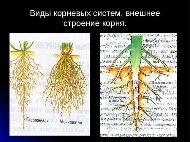 Виды корневых систем, внешнее строение корня.