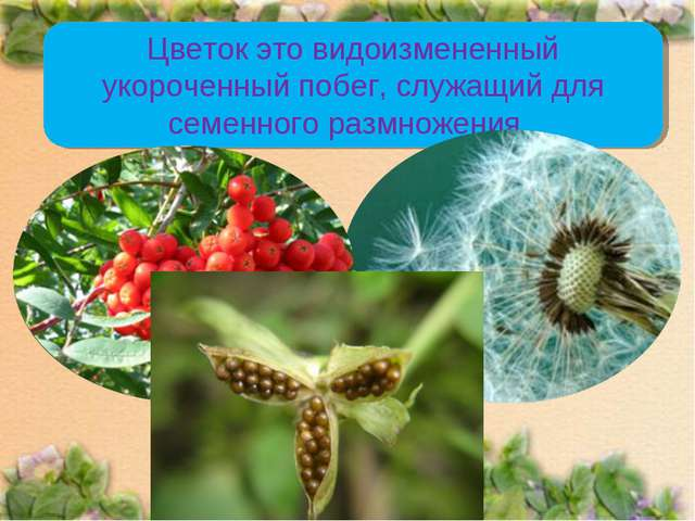 Цветок это видоизмененный укороченный побег, служащий для семенного размножен...