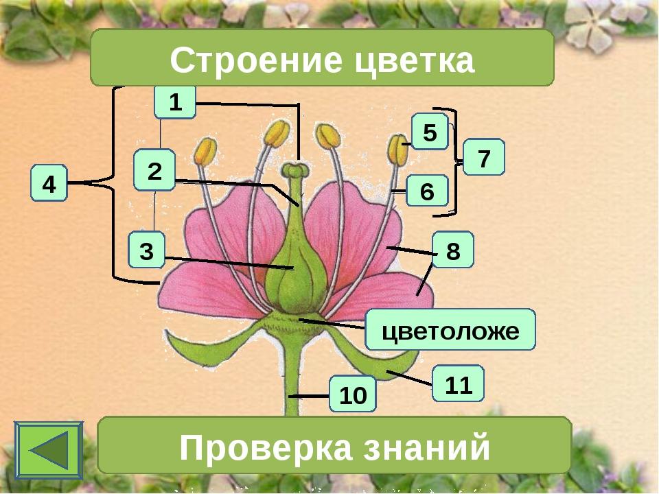 1 4 2 3 Строение цветка 7 Проверка знаний 11 10 6 5 8 цветоложе