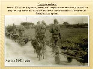 Ездовые собаки. около 15 тысяч упряжек, летом на специальных тележках, зимой