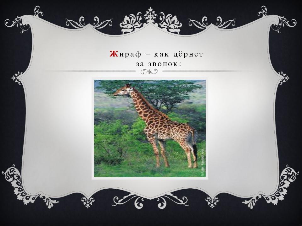 Жираф – как дёрнет за звонок: