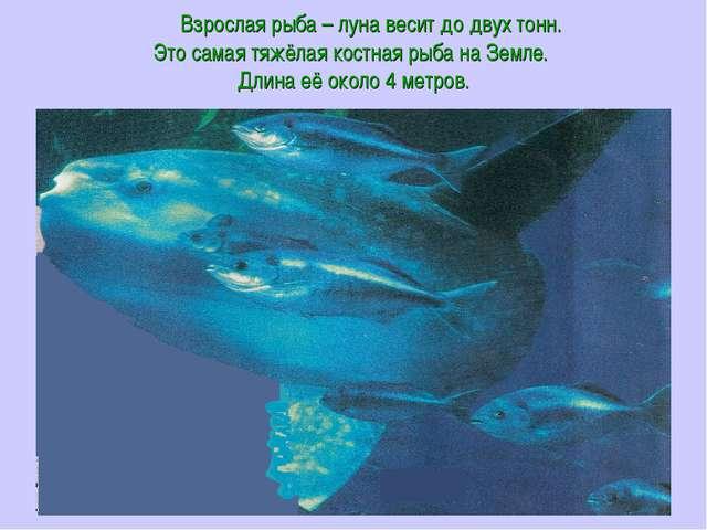 Взрослая рыба – луна весит до двух тонн. Это самая тяжёлая костная рыба на З...