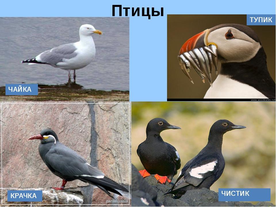 Птицы ТУПИК ЧАЙКА КРАЧКА ЧИСТИК