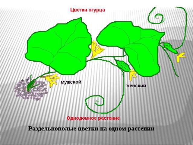 Раздельнополые цветки на одном растении