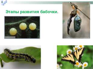 Этапы развития бабочки.