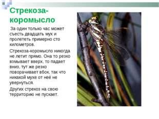 Стрекоза-коромысло За один только час может съесть двадцать мух и пролететь п