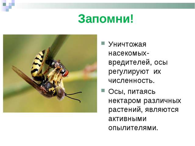 Запомни! . Уничтожая насекомых-вредителей, осы регулируют их численность. Ос...