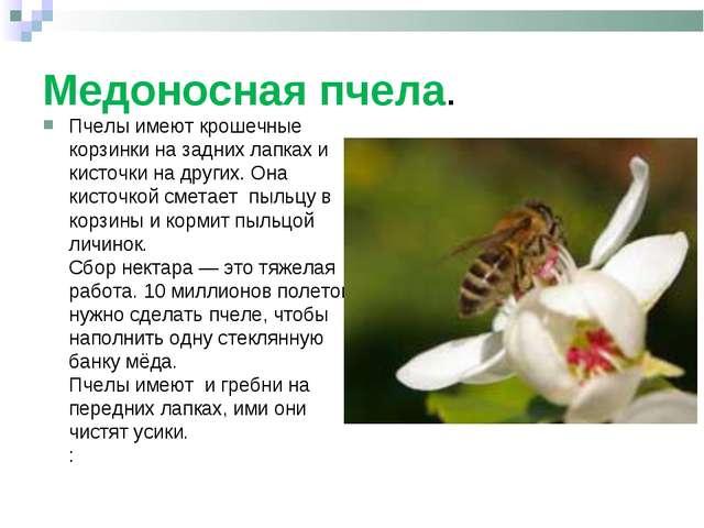 Медоносная пчела. Пчелы имеют крошечные корзинки на задних лапках и кисточки...