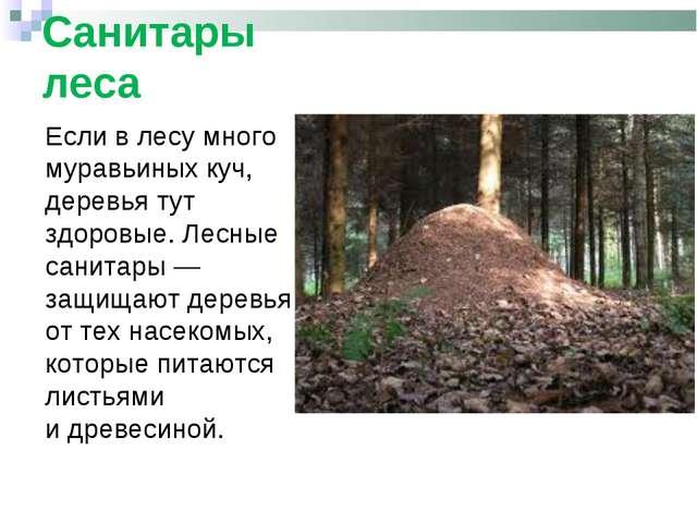 Если влесу много муравьиных куч, деревья тут здоровые. Лесные санитары— защ...