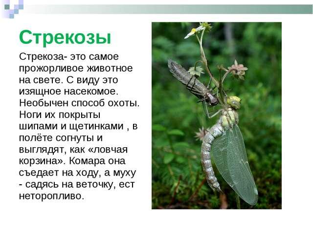 Стрекозы Стрекоза- это самое прожорливое животное на свете. С виду это изящно...