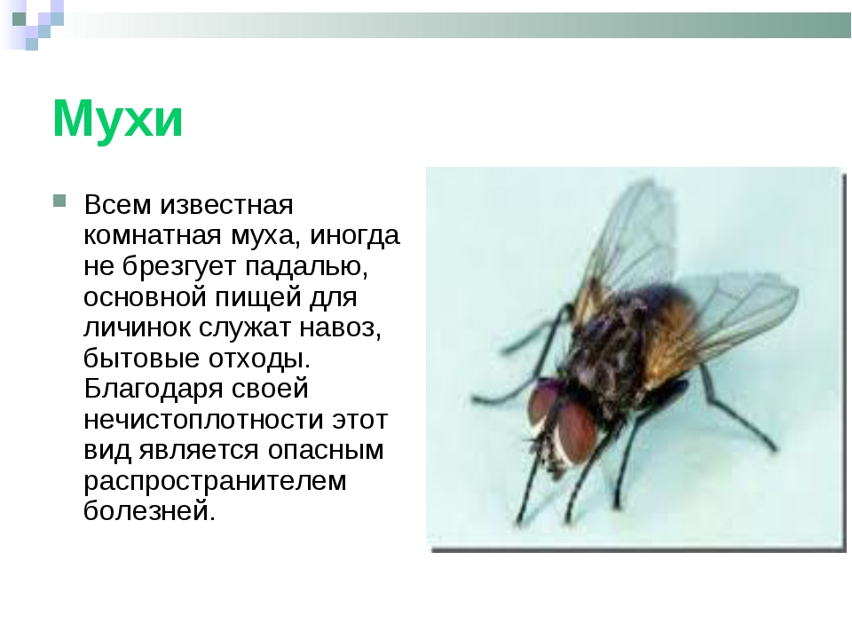 Мухи Всем известная комнатная муха, иногда не брезгует падалью, основной пище...