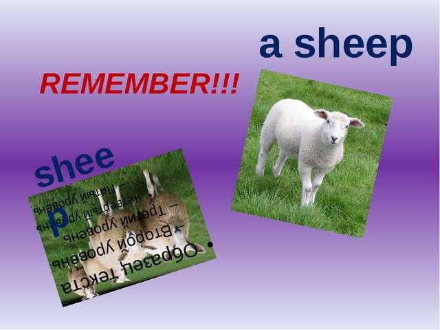 a sheep sheep REMEMBER!!!