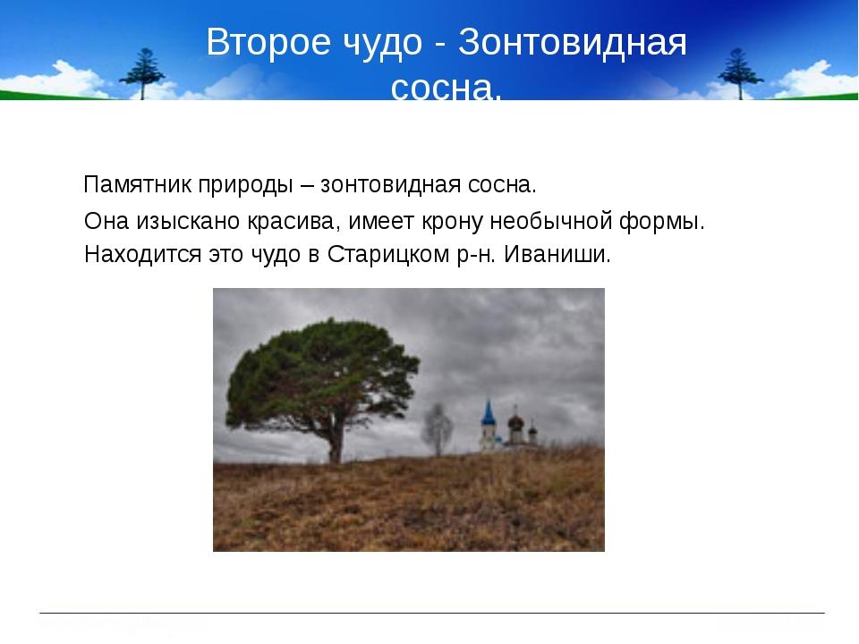 Второе чудо - Зонтовидная сосна. Памятник природы – зонтовидная сосна. Она из...