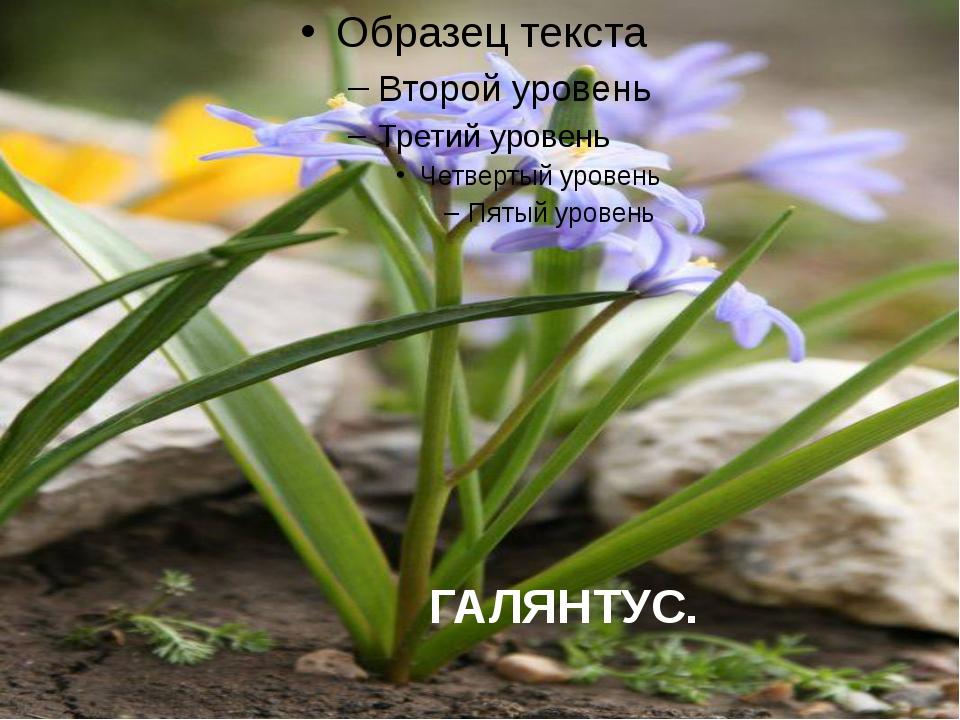 ГАЛЯНТУС.