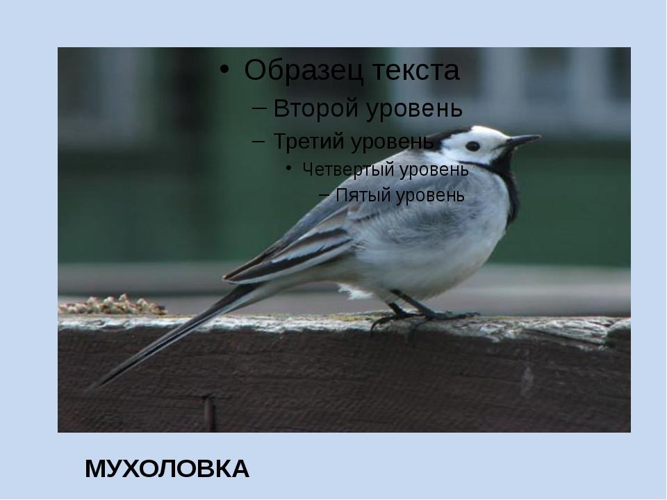 МУХОЛОВКА
