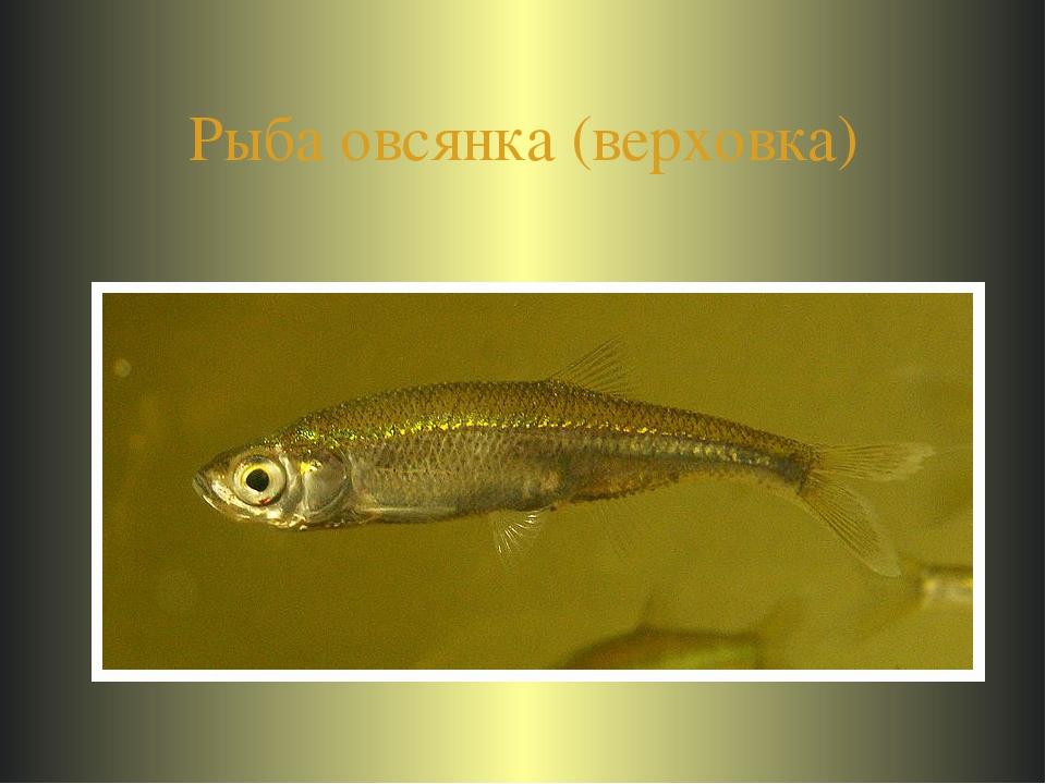 Рыба овсянка (верховка)