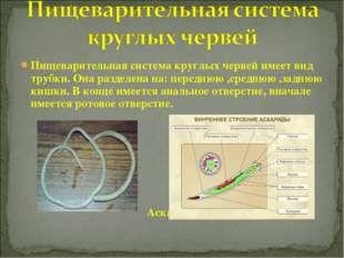 Пищеварительная система круглых червей имеет вид трубки. Она разделена на: пе