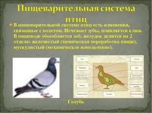 В пищеварительной системе птиц есть изменения, связанные с полетом. Исчезают