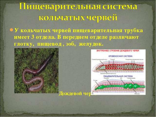 У кольчатых червей пищеварительная трубка имеет 3 отдела. В переднем отделе р...