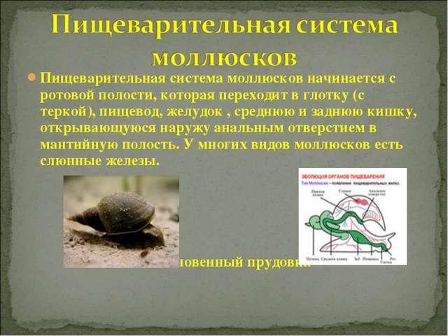 Пищеварительная система моллюсков начинается с ротовой полости, которая перех...