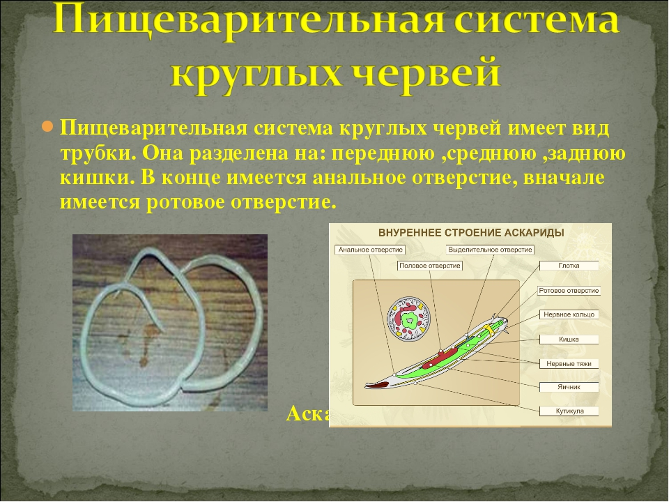 Пищеварительная система круглых червей имеет вид трубки. Она разделена на: пе...