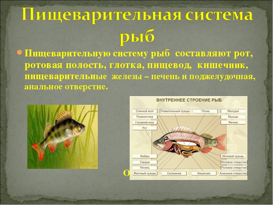 Пищеварительную систему рыб составляют рот, ротовая полость, глотка, пищевод,...
