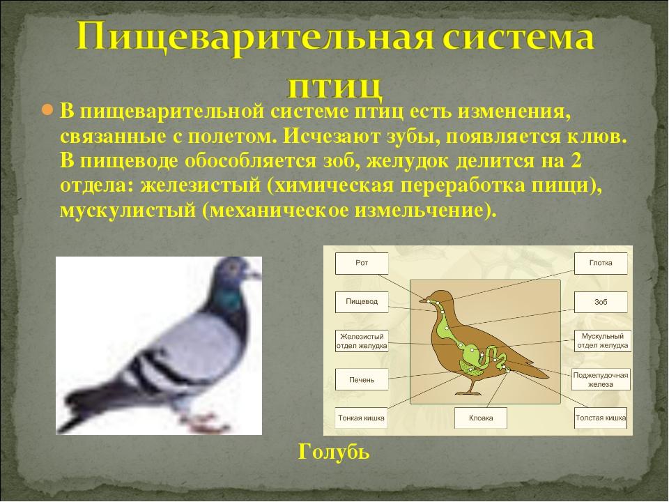 В пищеварительной системе птиц есть изменения, связанные с полетом. Исчезают...