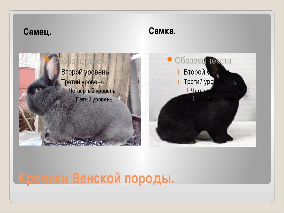 Кролики Венской породы. Самец. Самка.