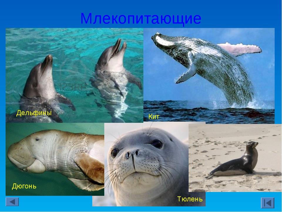 Млекопитающие Кит Тюлень Дюгонь Дельфины