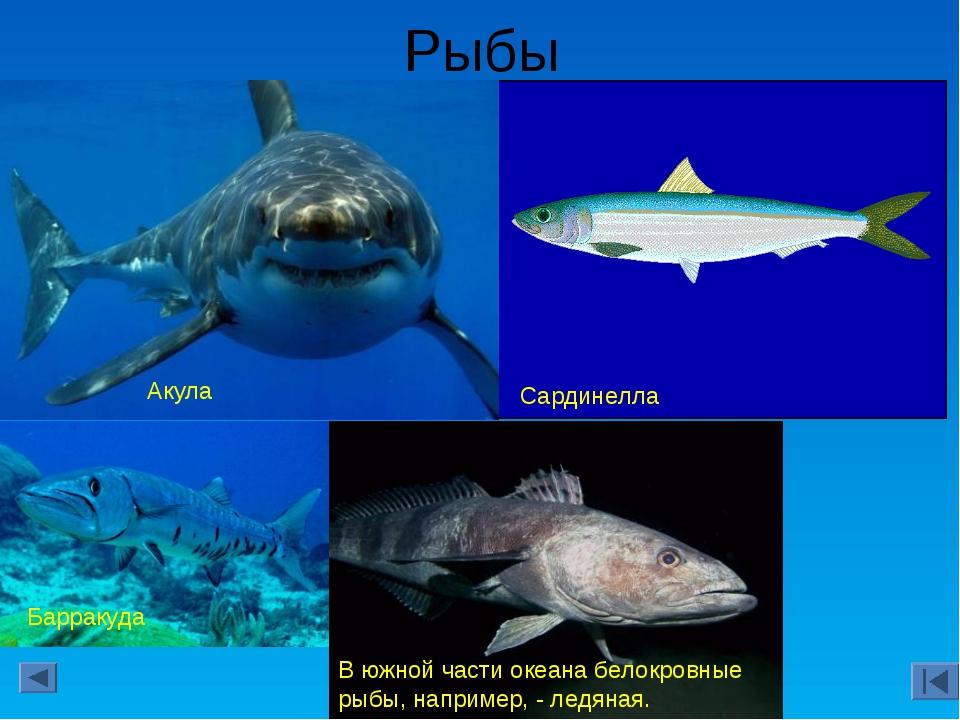 Рыбы Сардинелла Акула Барракуда В южной части океана белокровные рыбы, наприм...