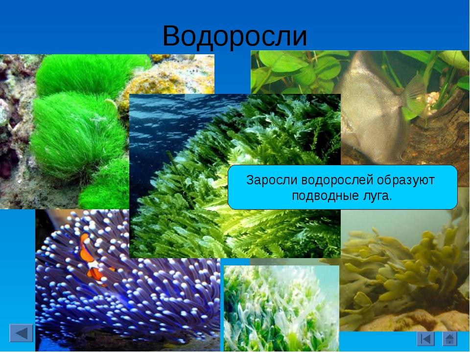 Водоросли Заросли водорослей образуют подводные луга.