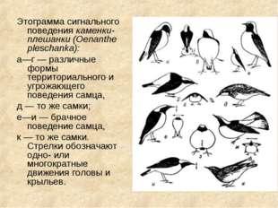 Этограмма сигнального поведения каменки-плешанки (Oenanthe pleschanka): а—г —
