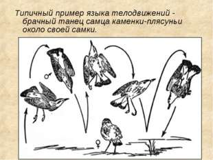 Типичный пример языка телодвижений - брачный танец самца каменки-плясуньи око