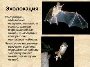 Эхолокация Ультразвуки, издаваемые летучими мышами и совами, служат информаци