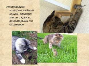 Ультразвуки, которые издают кошки, слышат мыши и крысы, за которыми те охотят