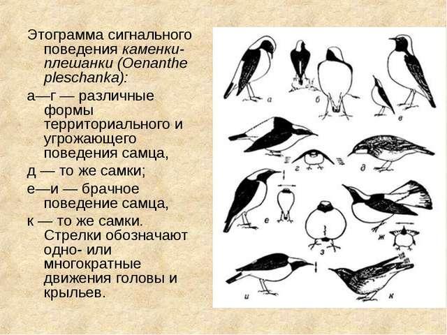 Этограмма сигнального поведения каменки-плешанки (Oenanthe pleschanka): а—г —...