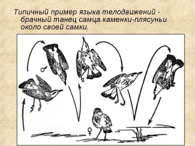 Типичный пример языка телодвижений - брачный танец самца каменки-плясуньи око...