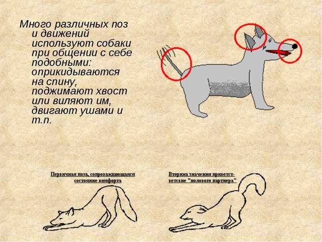 Много различных поз и движений используют собаки при общении с себе подобными...