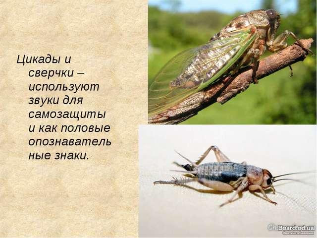 Цикады и сверчки – используют звуки для самозащиты и как половые опознаватель...