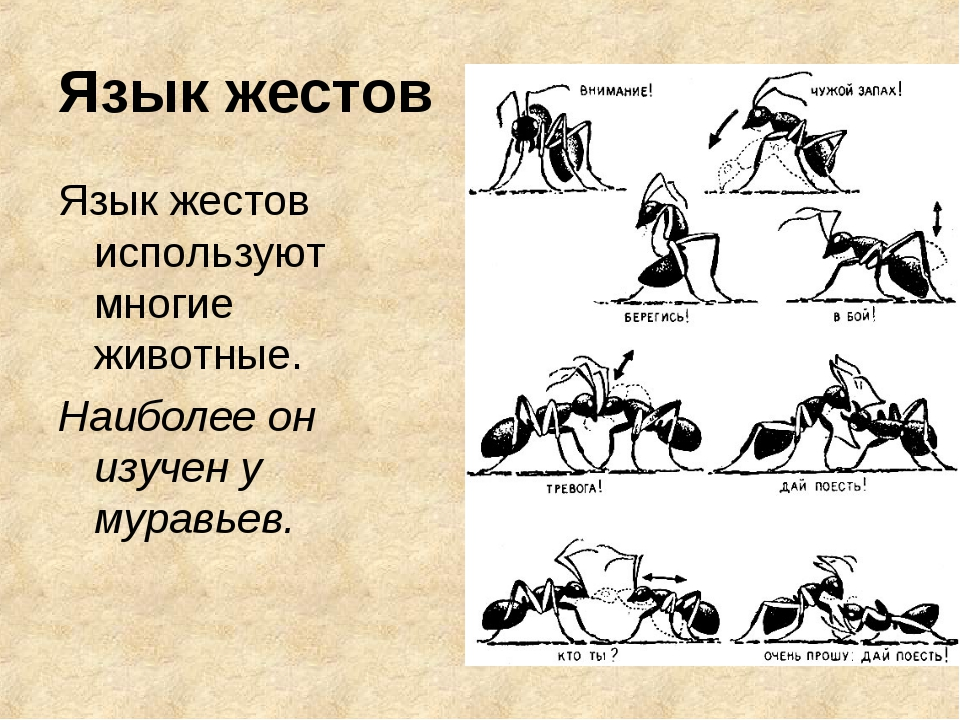 Язык жестов Язык жестов используют многие животные. Наиболее он изучен у мура...
