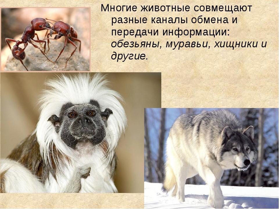 Многие животные совмещают разные каналы обмена и передачи информации: обезьян...