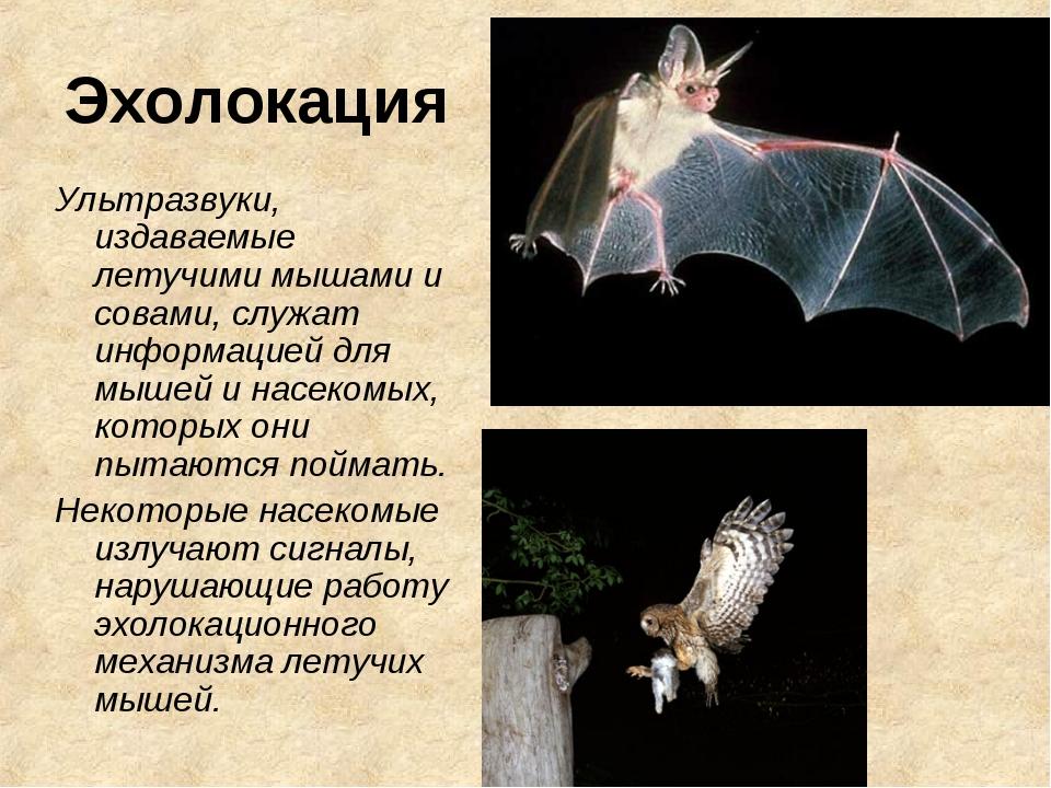 Эхолокация Ультразвуки, издаваемые летучими мышами и совами, служат информаци...