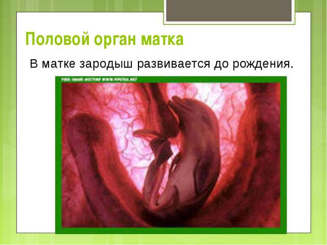 Половой орган матка В матке зародыш развивается до рождения.