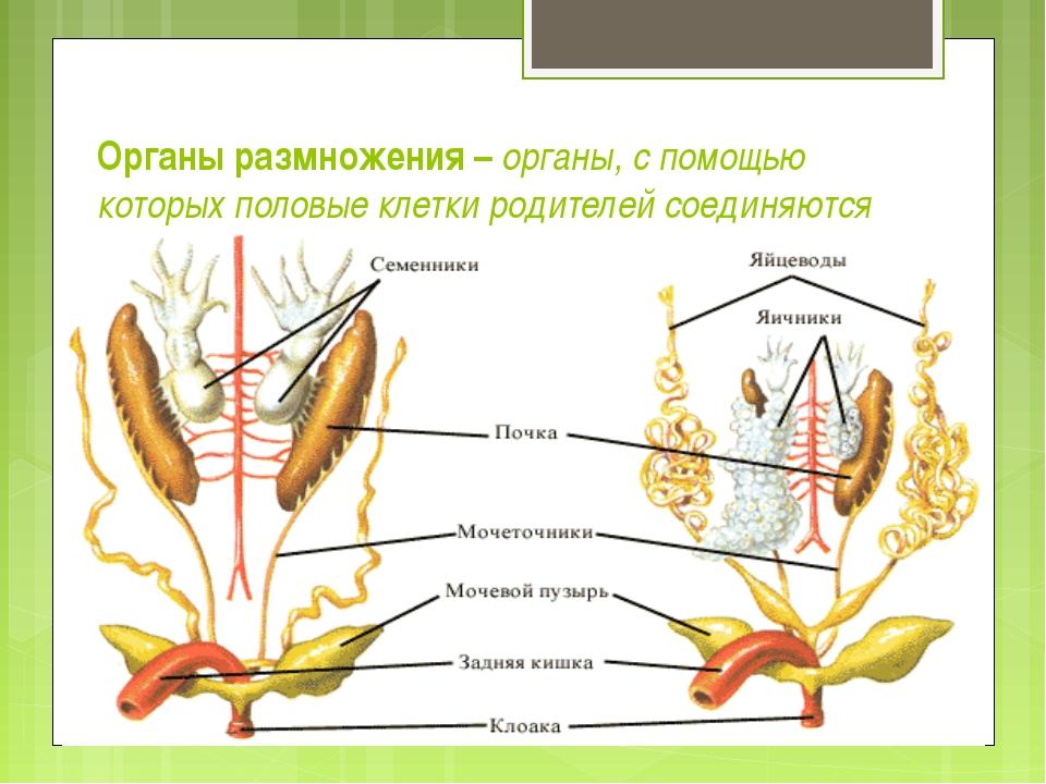 Органы размножения – органы, с помощью которых половые клетки родителей соеди...
