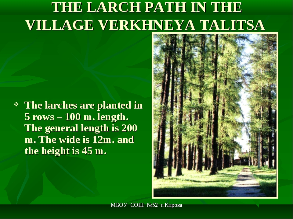 МБОУ СОШ №52 г.Кирова THE LARCH PATH IN THE VILLAGE VERKHNEYA TALITSA The lar...
