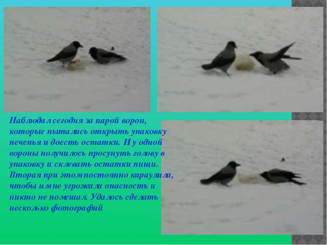 Наблюдал сегодня за парой ворон, которые пытались открыть упаковку печенья и...