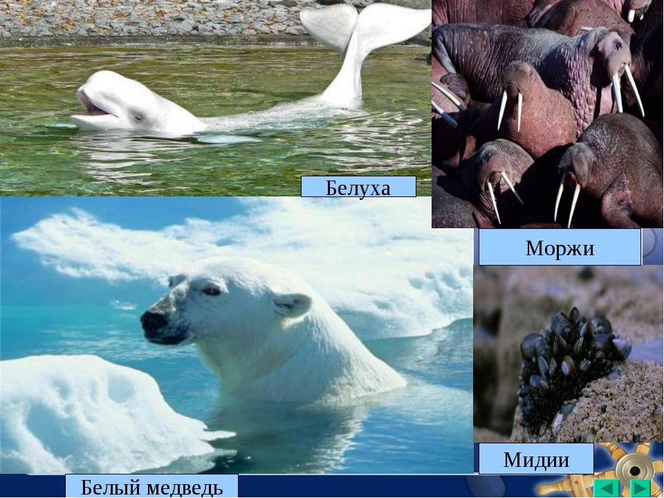 Белый медведь Мидии Белуха Моржи