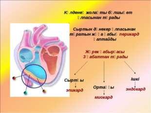 Жүрек қабырғасы 3 қабаттан тұрады Сыртқы эпикард Ортаңғы миокард Ішкі эндокар