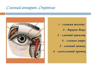 Слезный аппарат. Строение 1 - слезная железа; 2 - верхнее веко; 3 - слезный к