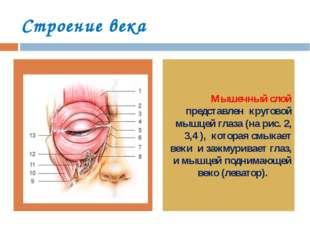 Строение века Мышечный слой представлен круговой мышцей глаза (на рис. 2, 3,4